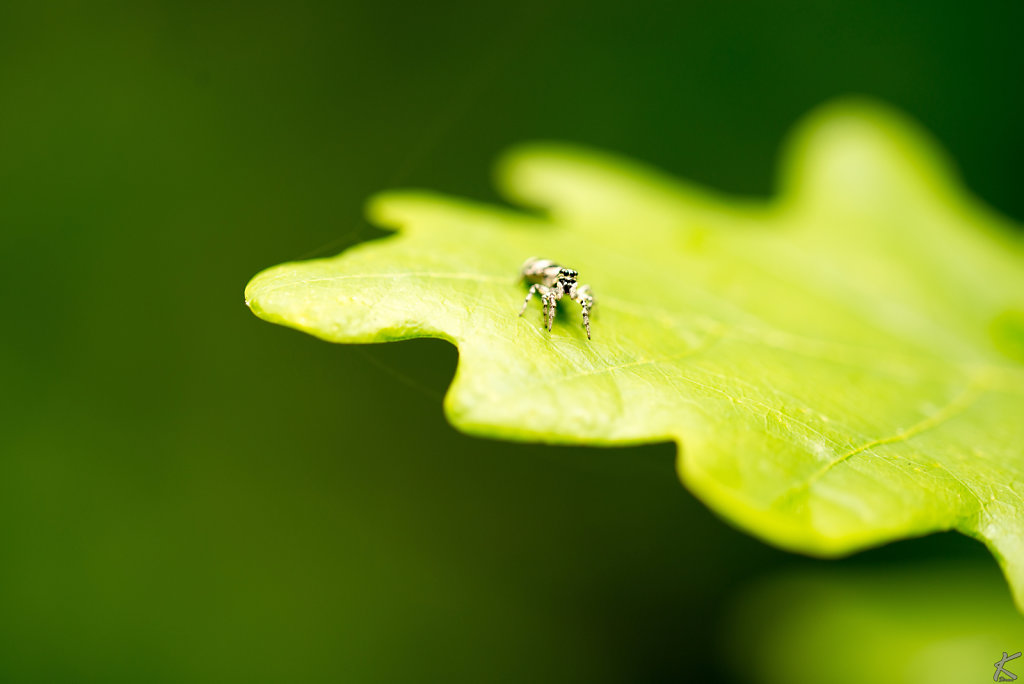 Spinne auf Eichenblatt
